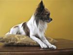 Chien Furby à 24 mois - Chihuahua  (2 ans)