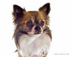 Chien Beau portrait de Furby à 24 mois - Chihuahua  (2 ans)