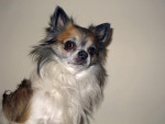 Chien Très beau portrait de Furby, adorable chihuahua - Chihuahua Femelle (0 mois)
