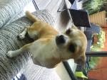 Chien Clint - Chihuahua Mâle (2 mois)