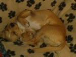 Chien LUCKY - Chihuahua Mâle (1 an)