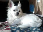 Chien Luna - Chihuahua Femelle (4 ans)