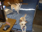 Chien Babygurl and Sophie - Chihuahua Femelle (4 ans)