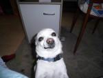 Chien Paco - Chihuahua Mâle (9 ans)