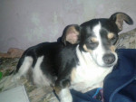 Chien princesa - Chihuahua Femelle (3 ans)