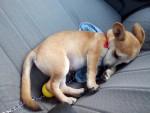 Chien Aladdin - Chihuahua Femelle (5 mois)