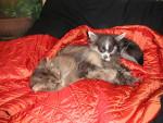 Chien Comme chien et chat !!! - Chihuahua  (0 mois)