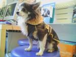 Chien T\'as vu mon nouveau manteau ??? ca fait bikeuse, non !!! - Chihuahua  (0 mois)