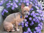Chien Vagabond - Chihuahua  (0 mois)
