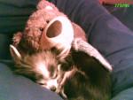 Chien Souris et sa peluche geante - Chihuahua  (0 mois)