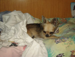 Chien Loona - Chihuahua  (0 mois)