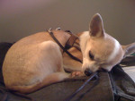 Chien  - Chihuahua  (0 mois)
