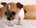 Chien coco - Chihuahua Mâle (3 mois)