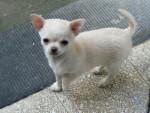 Chien Lilou - Chihuahua Femelle (6 mois)