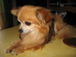 Chien Nerac (chien de ma mamie) - Chihuahua Mâle (11 ans)