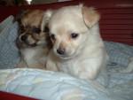 Chien Colonel(marron et noir)Jimmy(sablé) - Chihuahua Mâle (9 mois)