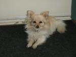 Chien choupette - Chihuahua Femelle (2 ans)