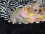 Chien Globule - Chihuahua Mâle (0 mois)