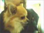 Chien vick - Chihuahua Mâle (4 ans)