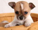 Chien Poppy - Chihuahua Femelle (1 mois)