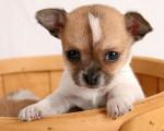 Chien Tobby - Chihuahua Mâle (1 an)