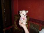 Chien chloe - Chihuahua Femelle (1 an)