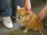 Chien chloe - Chihuahua Femelle (5 ans)