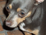 Chien Blue - Chihuahua Femelle (4 ans)