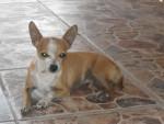 Chien Benito - Chihuahua Mâle (7 ans)