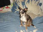 Chien Fydi (Mort le 16 novembre 2011) - Chihuahua Mâle (2 ans)