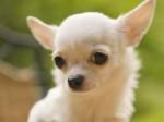 Chien Milou - Chihuahua Mâle (2 ans)