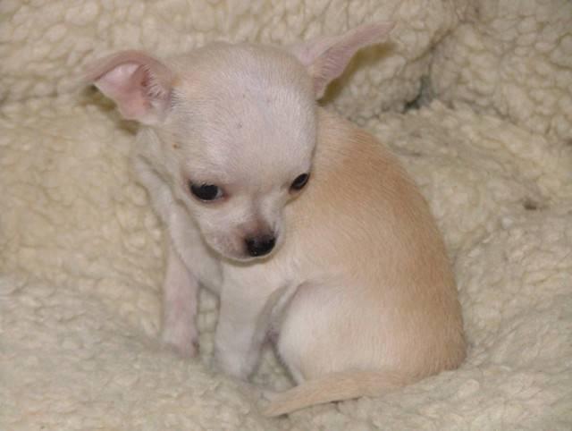 Chien chloé - Chihuahua Femelle (2 mois)