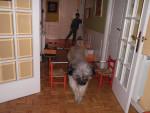 Chien Relampago saltando - Berger catalan Mâle (2 ans)