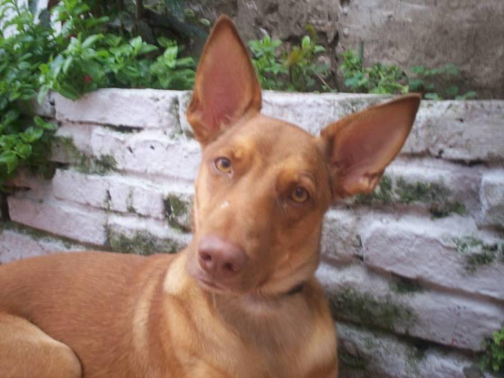 Chien Brisa - Chien du Pharaon Femelle (2 ans)