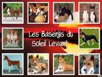 Chien basenjis - Basenji Femelle (1 an)