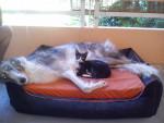 Chien two loves - Barzoï Femelle (0 mois)