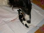 Chien edding - Barzoï Femelle (7 mois)