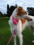 Chien Ruskey puppy - Barzoï Femelle (7 mois)