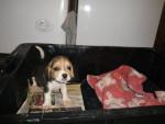 Chien Teo - Beagle Mâle (1 mois)