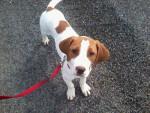 Chien Chamallow - Beagle Mâle (6 mois)