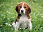 Chien Drus - Beagle Mâle (1 an)