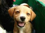 Chien buddy - Beagle Mâle (8 mois)