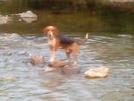 Chien soldad - Beagle Mâle (2 ans)