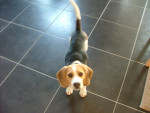 Chien Ginko - Beagle Mâle (8 mois)