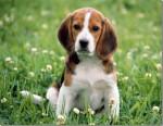 Chien mia - Beagle Femelle (2 mois)