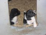 Chien Esa et Marcus - Beagle Femelle (8 mois)