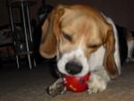 Chien Aco - Beagle Mâle (5 ans)