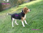 Chien lola - Beagle Femelle (1 an)
