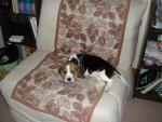 Chien Hermès - Beagle Mâle (2 mois)