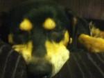 Chien rosie - Beagle Mâle (6 ans)